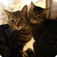 Domestic Shorthair Cat for adoption in Rye, New York - Cleo and Rameses