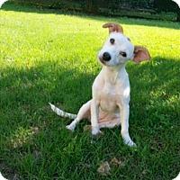 Adopt A Pet :: Fig (NC) - Raleigh, NC