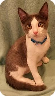 Domestic Shorthair Kitten for adoption in Attalla, Alabama - Houston