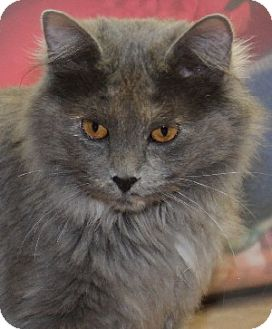 Domestic Mediumhair Cat for adoption in Savannah, Missouri - Rebecca