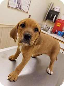 Boxer/Hound (Unknown Type) Mix Puppy for adoption in Wilmington, Delaware - Eleanor