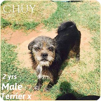 Terrier (Unknown Type, Small) Mix Dog for adoption in DeForest, Wisconsin - Chuy