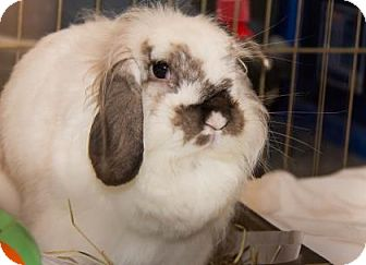 Lionhead Mix for adoption in Lowell, Massachusetts - Ava