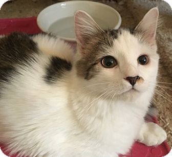 Domestic Mediumhair Kitten for adoption in Gilbert, Arizona - Lolo