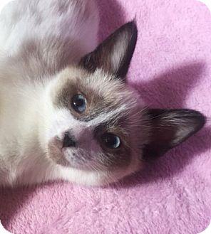 Siamese Kitten for adoption in Hallandale, Florida - Sable