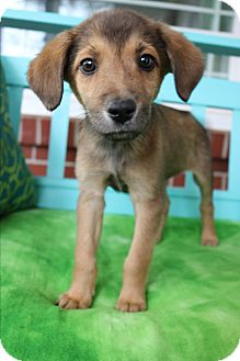 Pomeranian/Beagle Mix Puppy for adoption in Staunton, Virginia - Lange