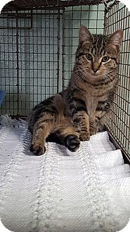 Domestic Shorthair Cat for adoption in Cody, Wyoming - Prancer