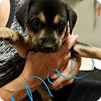 Adopt A Pet :: Mac - Overland Park, KS
