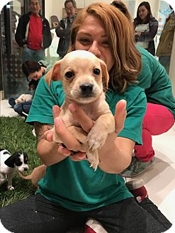 Terrier (Unknown Type, Small)/Chihuahua Mix Puppy for adoption in Sun valley, California - o.j