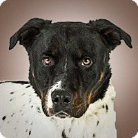 Adopt A Pet :: Gunny - Prescott, AZ