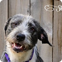 Adopt A Pet :: Shania - Vancouver, BC