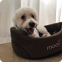 Adopt A Pet :: Balou - Davie, FL