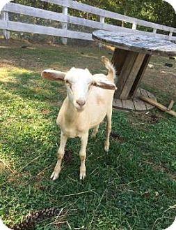 Goat for adoption in Dedham, Massachusetts - 3-34 PUMPKIN