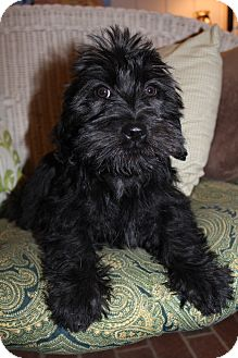 Scottie, Scottish Terrier/Shih Tzu Mix Puppy for adoption in Bedminster, New Jersey - Armani