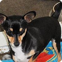 Adopt A Pet :: Caper - Seattle, WA