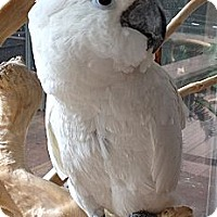 Adopt A Pet :: OREO - Mantua, OH
