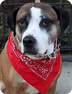 American Staffordshire Terrier/Hound (Unknown Type) Mix Dog for adoption in Staten Island, New York - Libby