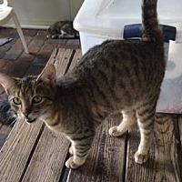 Domestic Shorthair Cat for adoption in Thibodaux, Louisiana - Peanut