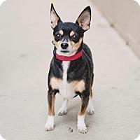 Adopt A Pet :: Shadow - Chino Hills - Chino Hills, CA