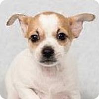 Adopt A Pet :: Major Tom - Minneapolis, MN