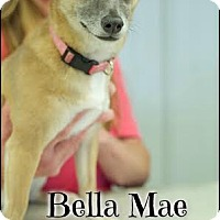 Adopt A Pet :: Bella Mae (Pom-dc) - Hagerstown, MD
