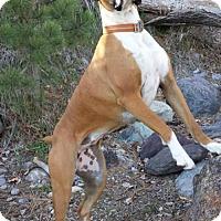 Adopt A Pet :: Kimber - Woodinville, WA