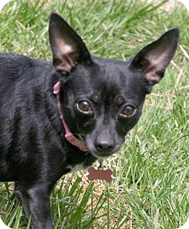 Chihuahua Mix Dog for adoption in Alpharetta, Georgia - MissSophie