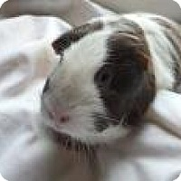 Guinea Pig for adoption in Edmonton, Alberta - Abee