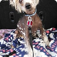 Chinese Crested Dog for adoption in Thorp, Wisconsin - Richie