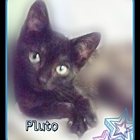 Domestic Shorthair Kitten for adoption in Ocala, Florida - MANDY 12 wks