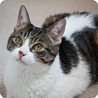 Domestic Shorthair Cat for adoption in New York, New York - Fluffy
