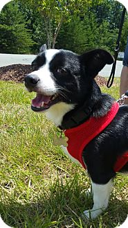 Feist Mix Dog for adoption in Burlington, North Carolina - Wolverine