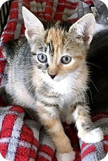 Domestic Shorthair Kitten for adoption in Island Park, New York - Spring