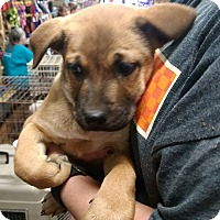 Adopt A Pet :: Haley - Covington, TN