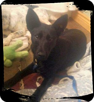 Cattle Dog/Border Collie Mix Dog for adoption in Billings, Montana - Cher