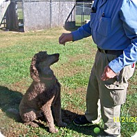 Poodle (Standard) Dog for adoption in moscow mills, Missouri - Teddy