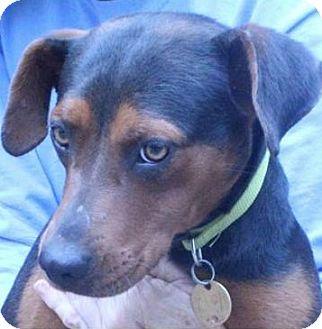Hound (Unknown Type) Mix Dog for adoption in Washington, D.C. - Ellie -MISSING