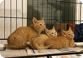 American Shorthair Kitten for adoption in Brooklyn, New York - Saffron, Curry and Cinnamon