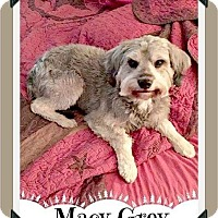 Schnauzer (Miniature) Mix Dog for adoption in Arlington, Texas - Macy GREY - ADOPTION PENDING