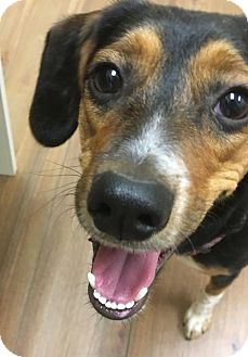 Hound (Unknown Type)/Beagle Mix Puppy for adoption in Doylestown, Pennsylvania - Meah