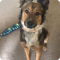 Adopt A Pet :: Shanto - Glendale, AZ