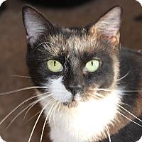 Adopt A Pet :: Angelique - Fairfax, VA