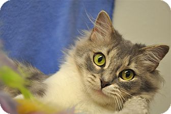 Domestic Mediumhair Cat for adoption in Foothill Ranch, California - Iris