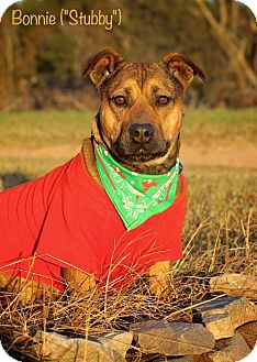 American Pit Bull Terrier/Welsh Corgi Mix Dog for adoption in Wilmington, Delaware - Bonnie aka Stubby
