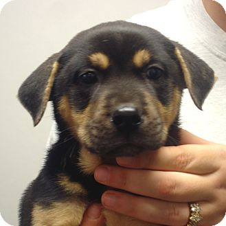 Rottweiler/Boxer Mix Puppy for adoption in baltimore, Maryland - Quinn