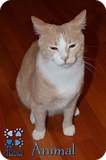 Domestic Shorthair Cat for adoption in Merrifield, Virginia - Animal