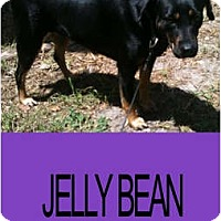 Adopt A Pet :: JELLY BEAN - Hollywood, FL