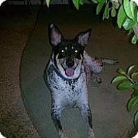 Adopt A Pet :: Blizzy - scottsdale, AZ
