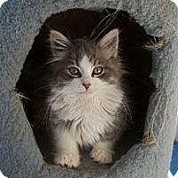 Adopt A Pet :: Linus - Acme, PA