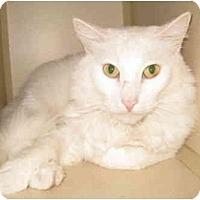 Adopt A Pet :: Cheshire - Mesa, AZ